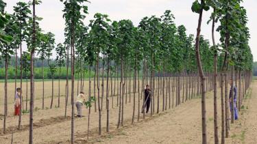 A birtokában lévõ közel 4 hektáros gyenge adottságú területet a monostorpályi önkormányzat kínai császárfa (Paulownia tomentosa) beültetésével hasznosítja.