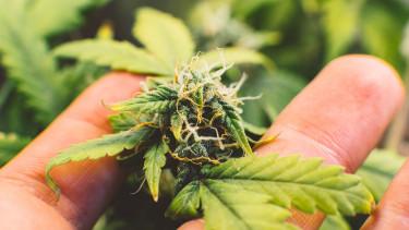 A marihuána felé nyithat a Marlboro gyártója