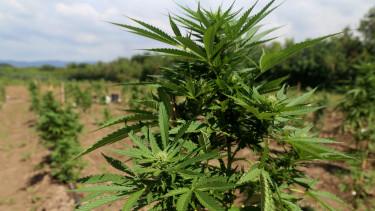 Kannabisz ültetvény