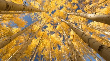 nyárfa erdő