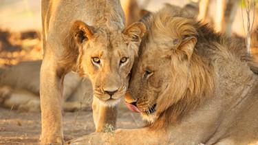 oroszlán korona india indiai mutáns