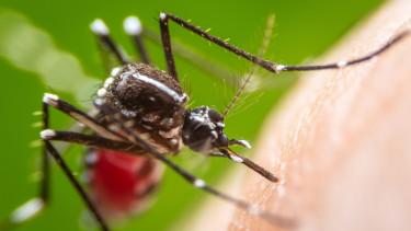 Rettegett kórt terjesztő szúnyogok jelentek meg a régióban