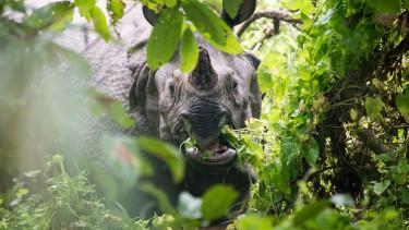 rinocérosz