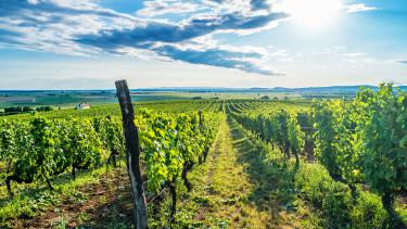 tokaj, szőlő, bor, napsütés, táj, getty