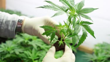 Új-Zélandon legalizálták az orvosi célú marihuánát