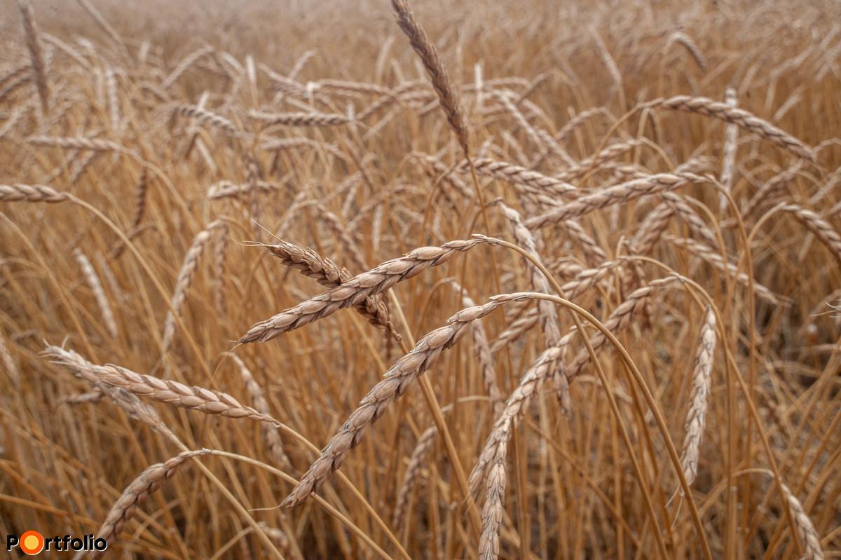 Az aratás előtti hónapban kánikula köszöntött be, ami a szemek telítődését akadályozta.